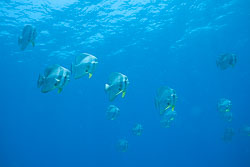 BD-150425-Maldives-8557-Platax-teira-(Forsskål.-1775)-[Longfin-batfish].jpg